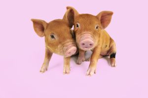 Pig - Kune Kune piglets on pink background