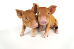 Pig. Kune Kune piglets on white background