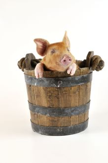 Pig - Large white cross piglet in bucket with eyes shut