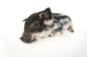 Pig. Mangalitza piglet on white background