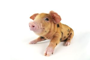 Pig. Oxford sandy and black piglet on white background