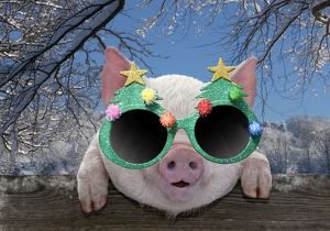 PIG - Piglet looking over fence wearing Christmas glasses in winter snow