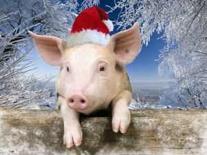 Pig - Piglet looking over fence wearing Christmas hat in snow scene