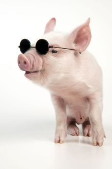 PIG - Piglet wearing sunglasses