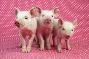 PIG - Piglets standing in a row on pink spotty blanket
