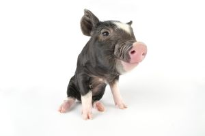 Pig - Saddleback cross piglet