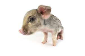 Pig. Wildboar piglet on white background