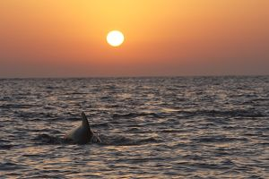 Pilot Whale - at sunset