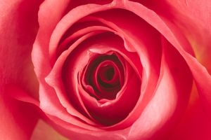 Pink ROSE - close-up
