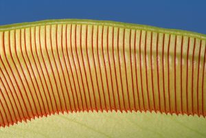 Pitcher Plant - the top of the pitcher are covered with downward facing hairs meant