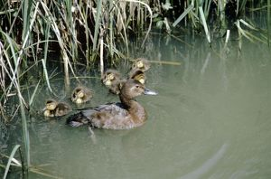 Pochard Duck - ducklings