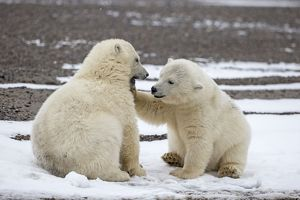 Polar Bear 2 one year old cubs playing together Autumn