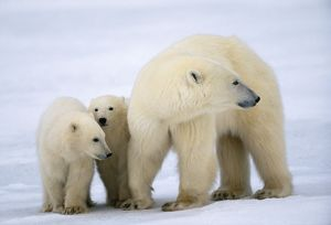 POLAR BEAR - adult and two cubs standing