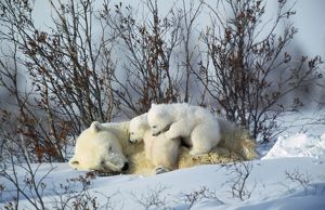 Polar BEAR - adult lying down with cubs, both on adult s body cuddling. Canada