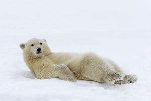 Polar Bear chilling in the snow without a care in the world