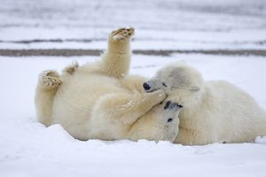 Polar Bear cubs playing and wrestling in the snow