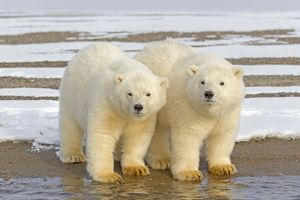 Two Polar Bear cubs stand together in the snow