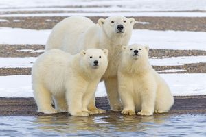 Polar Bear family of mother and cubs amke eye contact with the camera