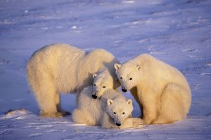 Polar bear - family, mother with two second year cubs. November.