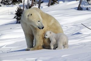 Polar Bear - female with young, cub snuggles into her side