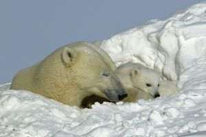 Polar Bear - female with young, resting in hollow in snow bank.
