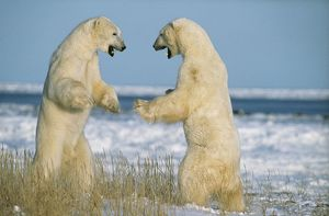 POLAR BEAR - two on hind legs, fighting