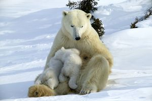 Polar Bear - mother and two cubs suckling