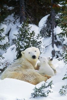 POLAR BEAR - Parent with 2 cubs