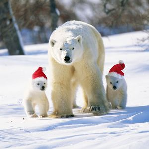 Polar Bear - Parent with cubs wearing Christmas hats