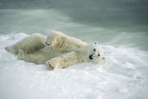 Polar Bear - rolling in snow to dry after coming out of the water.