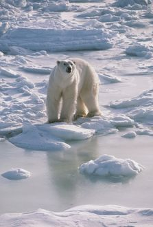 POLAR BEAR - standing, at edge of snow field