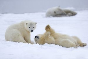 Polar Bear yearlings playing in the snow Autumn