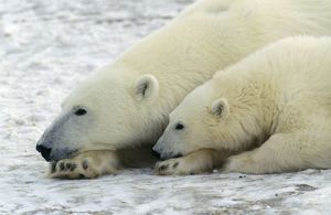 Polar Bears - adult & young, both resting head on paw