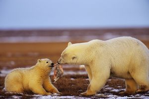 Polar Bears - female with cub - with chunk of whale meat along the Beaufort Sea coast,