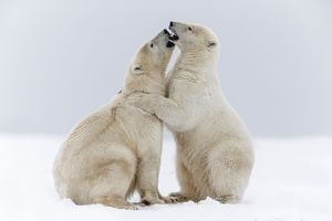 Two Polar Bears hugging as if they are best friends