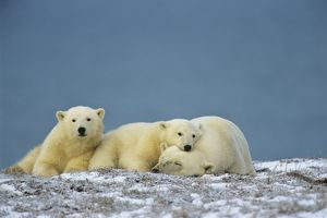 Polar Bears - sow with cubs - resting along the Beaufort Sea coast