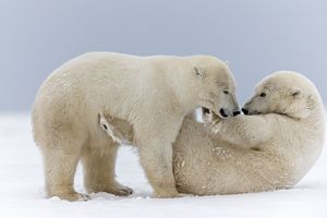 Two Polar Bearsp playing together in the snow and wrestling