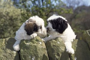 Polish Lowland Sheepdog - x2 puppies leaning over wall