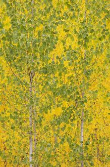 Poplar trees in autumnal colours cultivated for timber