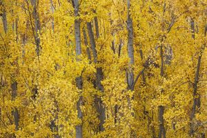 Poplar trees in autumnal colours near the town of Guad