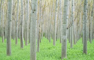 POPLARS - grown for timber