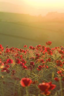 Poppies in cereal crop, sun haze/flare - backlit