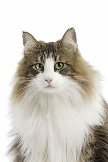 Portrait of a Norwegian Forest Cat looking at the camera