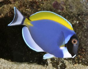 Powder Blue Surgeonfish (Powder Blue Tang) - tropical reefs