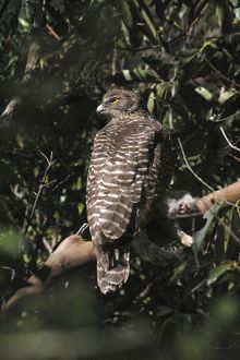 Powerful Owl - Adult with prey