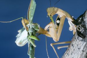 PRAYING MANTIS - female eating her male mate