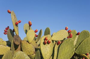 Prickly pear with fruit in the Tabernas Desert Eur