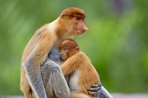 Proboscis / Long-nosed Monkey - adult female and baby