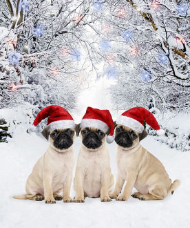 Pug Dog, puppies wearing Christmas hats in winter