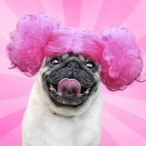 Pug dog wearing a pink wig and sticking out its tongue